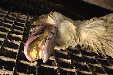 foie_gras_duck